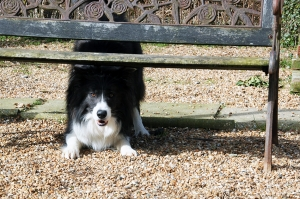 border-collie-dog-kennels